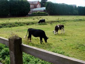 cow-0816.jpg