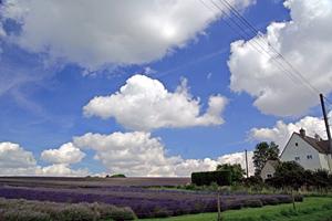 lavender 0809.jpg